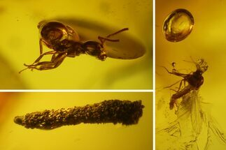 Buy Fossil Ant, Caddisfly Larva, Fly and Mite in Baltic Amber - #150700