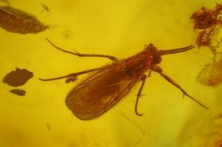 Buy Fossil Fly (Diptera) In Baltic Amber - #150742