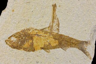 "Bargain 4.3"" Fossil Fish (Knightia) - Wyoming For Sale, #150611"