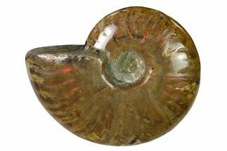 "2.7"" Red Flash Ammonite Fossil - Madagascar For Sale, #151721"