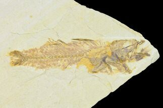 Mioplosus labracoides  - Fossils For Sale - #104604