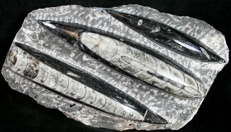 "Polished Orthoceras (Cephalopod) Plate - 7"" For Sale, #10508"