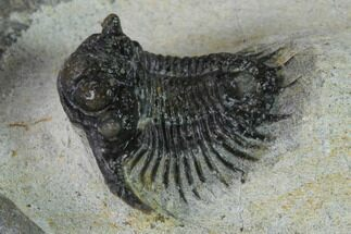 ".75"" Acanthopyge (Lobopyge) Trilobite - Issoumour, Morocco For Sale, #154340"