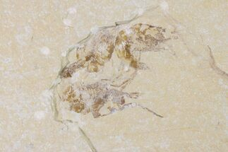 Buy Three Cretaceous Fossil Shrimp (Carpopenaeus) - Lebanon - #154579