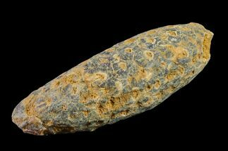 "1.9"" Agatized Seed Cone (Or Aggregate Fruit) - Morocco For Sale, #155102"