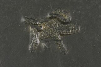 "Buy 1.1"" Pyritized Brittle Star (Taeniaster) - Bundenbach, Germany - #156619"