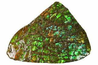 "3.9"" Iridescent Ammolite (Fossil Ammonite Shell) - Alberta, Canada For Sale, #156851"