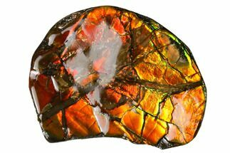 "1.8"" Iridescent Ammolite (Fossil Ammonite Shell) - Alberta, Canada For Sale, #156824"