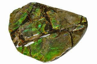 "2.15"" Iridescent Ammolite (Fossil Ammonite Shell) - Alberta, Canada For Sale, #156827"