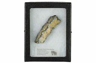 Mammuthus columbi - Fossils For Sale - #144321