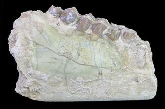 Merycoidodon culbertsoni - Fossils For Sale - #157386