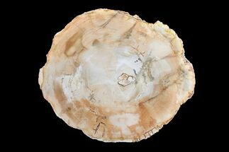 "7.1"" Petrified Wood (Araucaria) Round - Madagascar  For Sale, #157766"
