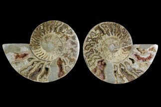 "Buy 8.5"" Daisy Flower Ammonite (Choffaticeras) - Madagascar - #157522"
