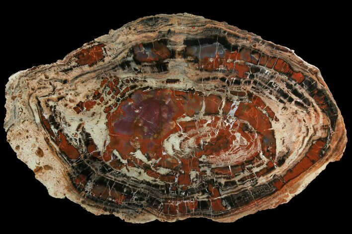 "21.8"" Red & Black Petrified Wood (Araucarioxylon) Round - Arizona"