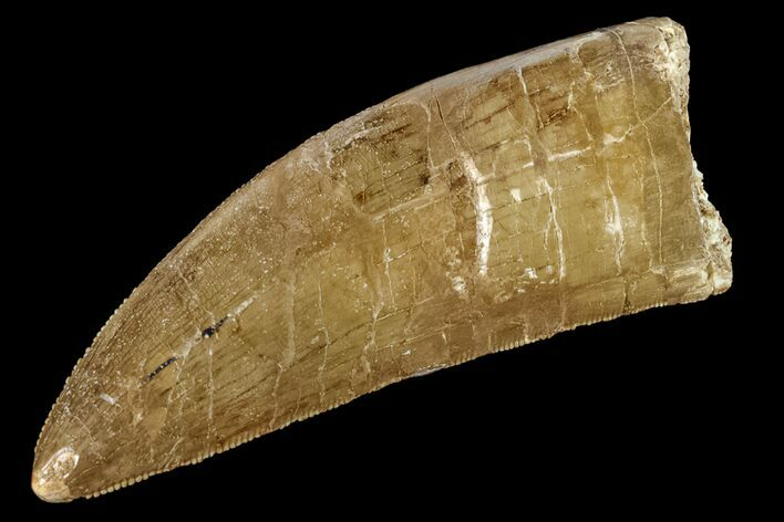 "3.09"" Serrated Carcharodontosaurus Tooth - Thick Tooth"