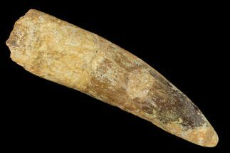"Bargain, 3.22"" Spinosaurus Tooth - Real Dinosaur Tooth For Sale, #159341"