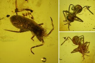 Buy Detailed Fossil Ant and Large Springtail in Baltic Amber - #159769