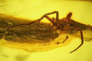 Fossil Fly (Diptera) and a Large Spider (Araneae) In Baltic Amber For Sale, #159773