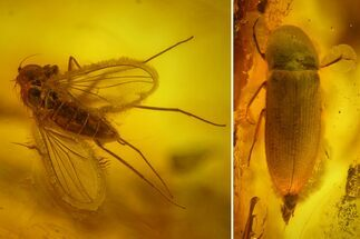 Buy Fossil Beetle (Coleoptera) & Two Flies (Diptera) In Baltic Amber - #159775
