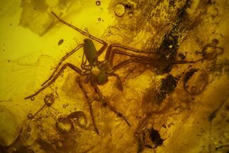 Detailed Fossil Spider (Araneae) in Baltic Amber For Sale, #159791