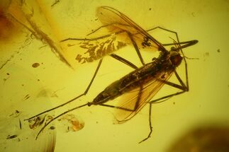 Fossil Fly (Diptera) In Baltic Amber For Sale, #159833