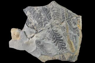 "6.2"" Fossil Flora (Alethopteris & Lepidodendron) Plate - Kentucky For Sale, #160247"