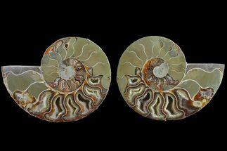 "Buy Bargain, 4.45"" Cut & Polished Ammonite Fossil (Pair) - Madagascar - #148021"