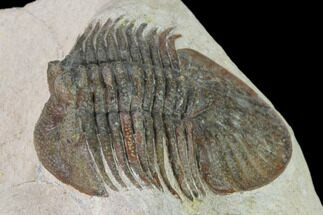 "Buy 1.9"" Metascutellum Trilobite - Very Pustulose - #160906"
