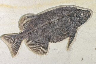 "Buy 13.4"" Fossil Fish (Phareodus) - Beautiful Specimen - #163417"