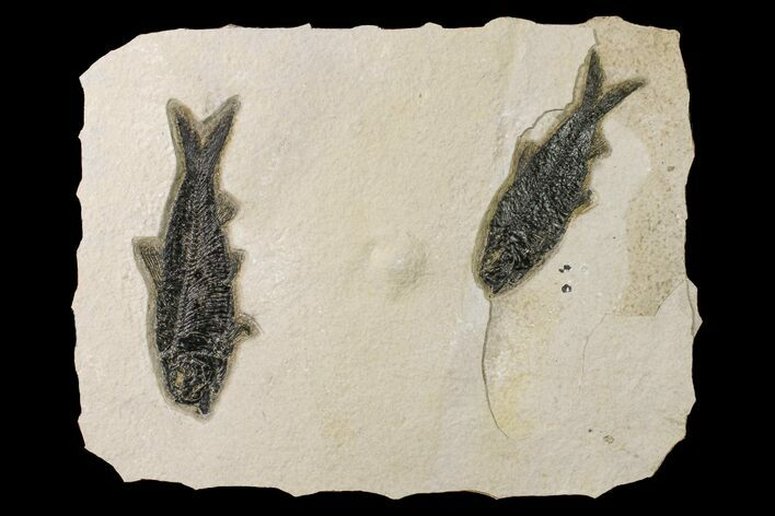Two Detailed Fossil Fish (Knightia) - Wyoming