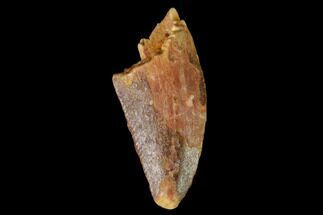"Bargain, .62"" Raptor Tooth - Real Dinosaur Tooth For Sale, #163871"