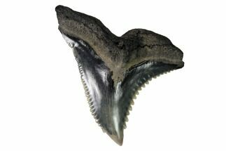 "Buy Serrated, 1.37"" Fossil Shark (Hemipristis) Tooth - #164290"