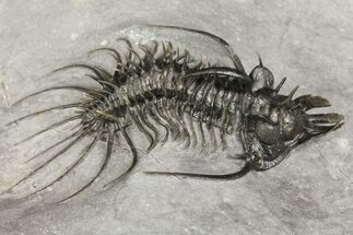 "2.95"" Spiny Quadrops Trilobite - Ofaten, Morocco For Sale, #164501"