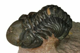 "1.1"" Reedops Trilobite With Nice Eyes - Lghaft , Morocco For Sale, #164627"
