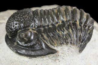 "Buy 1"" Detailed Gerastos Trilobite Fossil - Morocco - #164734"