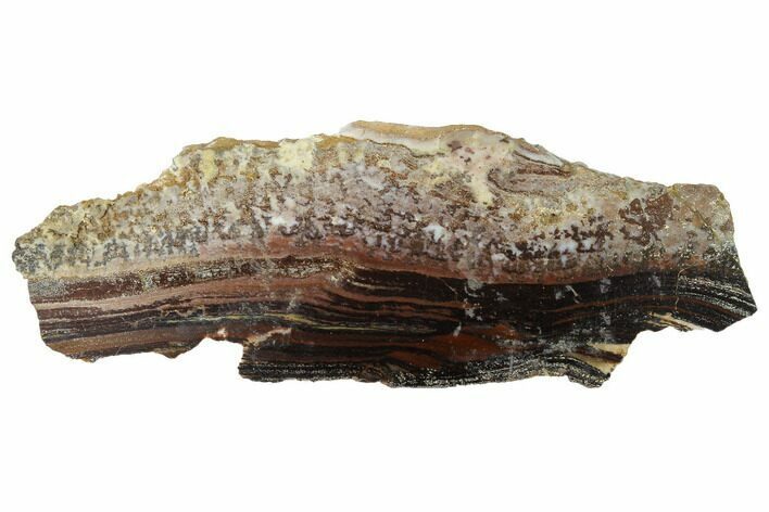 "3.6"" Rare North Pole Dome Stromatolite - 3.49 Billion Years"