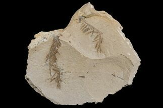 Buy Dawn Redwood (Metasequoia) Fossils - Montana - #165172