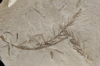 Metasequoia (Dawn Redwood) - Fossils For Sale - #165177