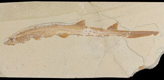 "Buy 13.7"" Cretaceous Fossil Shark (Pararhinchodon) - With Pos/Neg - #165874"