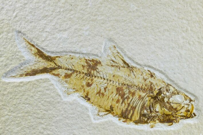 "4.3"" Detailed Fossil Fish (Knightia) - Wyoming"