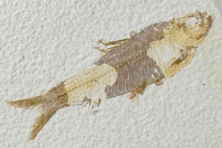 "3.8"" Detailed Fossil Fish (Knightia) - Wyoming"