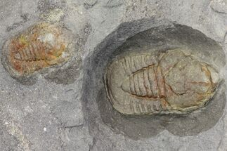 Two Pelagic Trilobite (Cyclopyge) Fossils - El Kaid Errami, Morocco For Sale, #165836