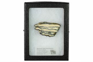 Mammuthus columbi - Fossils For Sale - #165108