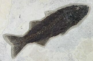 "10.4"" Uncommon Fish Fossil (Mioplosus) - Wyoming For Sale, #168338"