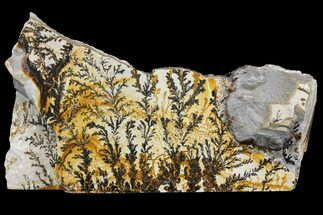 "Buy 13.5"" Dendrites On Limestone - Utah - #169429"