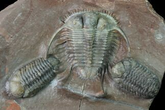"Buy Huge, 1.85"" Cyphaspides Trilobite With Two Austerops - Jorf, Morocco - #169645"