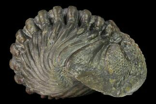 "Large, 2.2"" Wide, Enrolled Pedinopariops Trilobite For Sale, #169562"