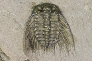 ".5"" Diminutive, Spiny Leonaspis Trilobite - Morocco For Sale, #170708"