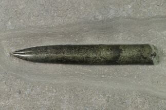 "Buy 4.1"" Pyritized Fossil Belemnite (Acrocoelites?)  - Germany - #170722"