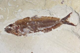 "Buy 6.15"" Cretaceous Fossil Fish (Osmeroides) - Hakel, Lebanon - #173161"